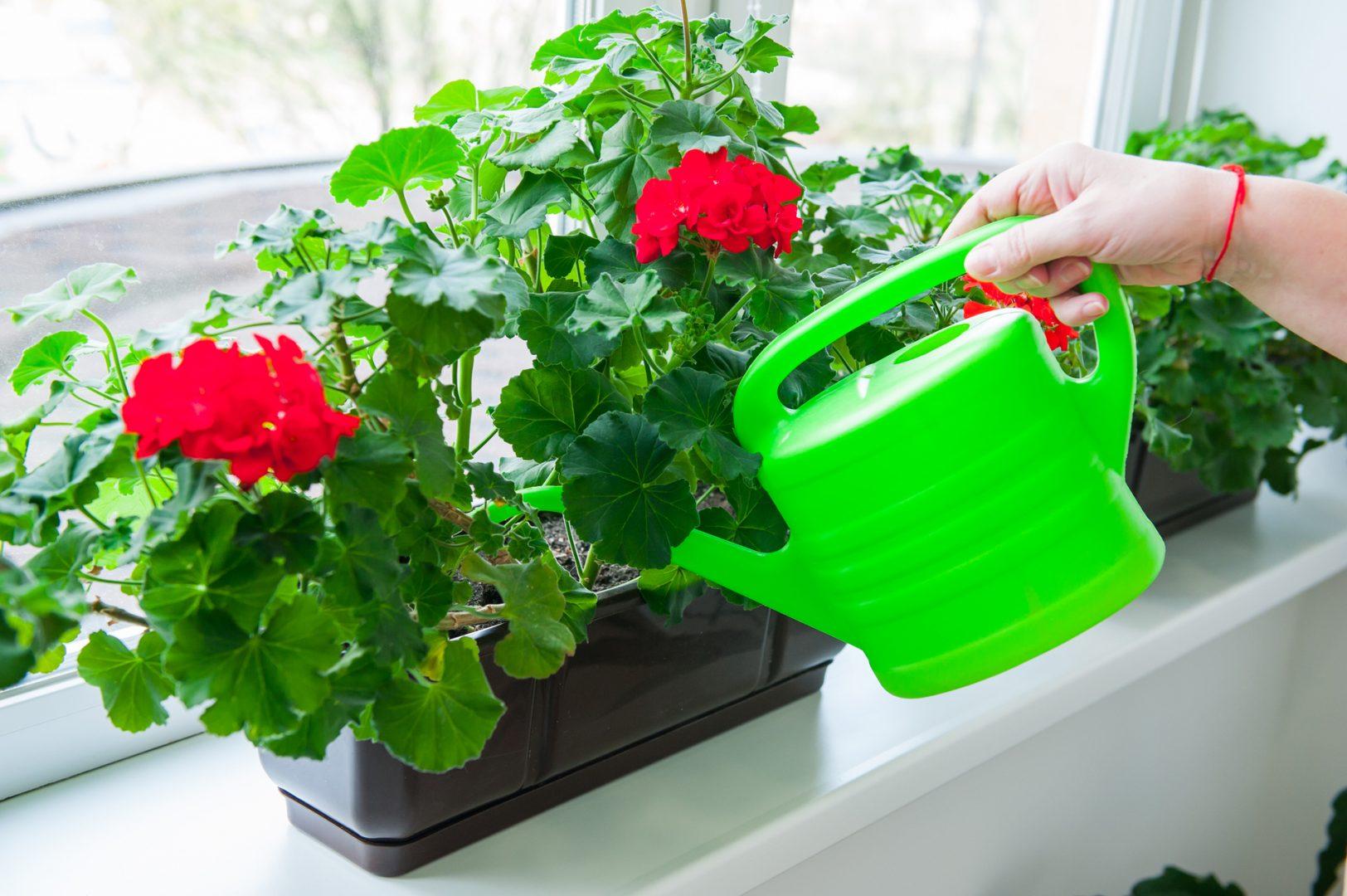 Цветущая герань: можно ли пересаживать и как ухаживать за растением после процедуры?
