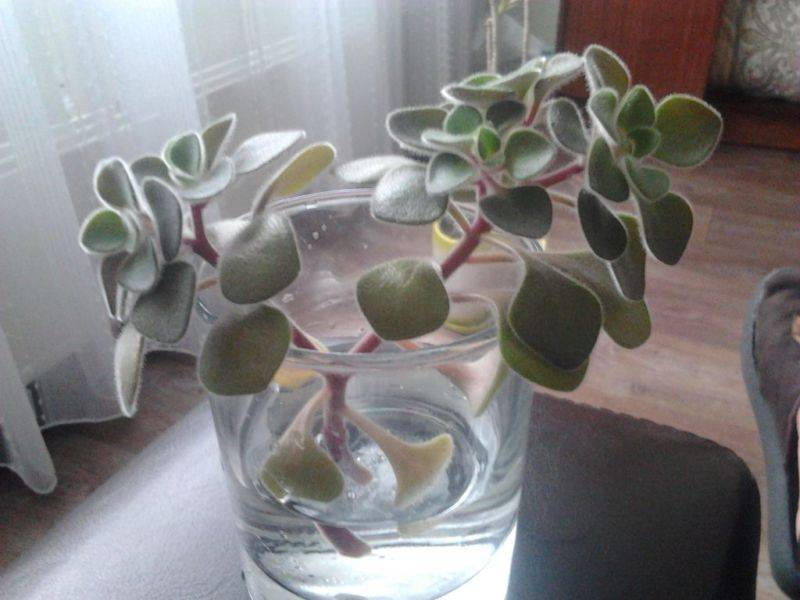 Как вырастить дерево любви: уход за аихризоном в домашних условиях