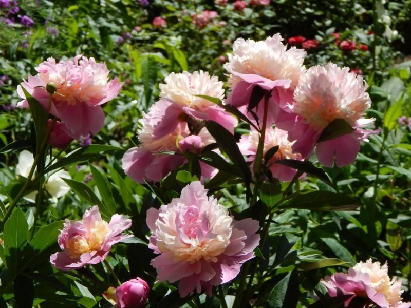 Пион ширли темпл (paeonia shirley temple)