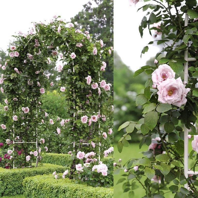 Роза перенниал блю (perennial blue) — описание сорта