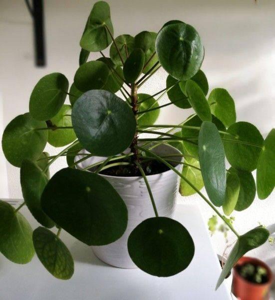 """""""пилея пеперомиевидная"""": уход в домашних условиях, фото растения, способы размножения"""