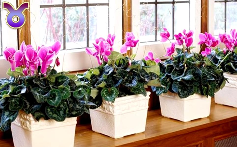 Цикламен — уход в домашних условиях, выращивание и размножение ?