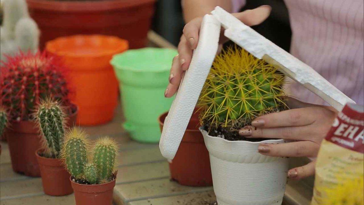 Пересадка кактусов в домашних условиях - пошаговая инструкция с фото