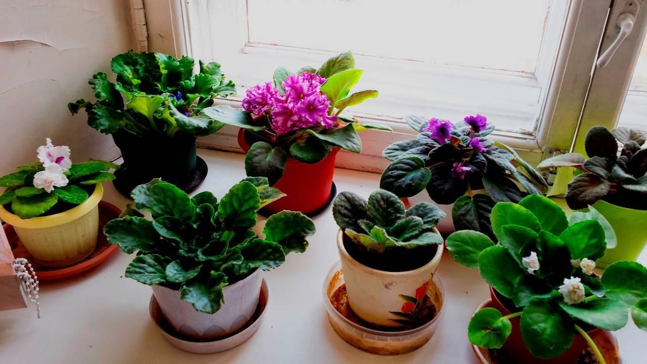 Домашняя фиалка — растим в домашних условиях, уход и правила пересадки + 72 фото