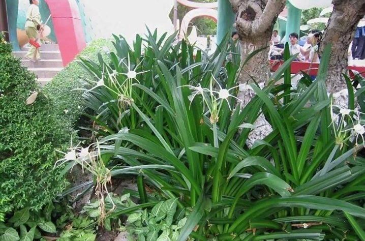 Цветок кринум выращивание на даче
