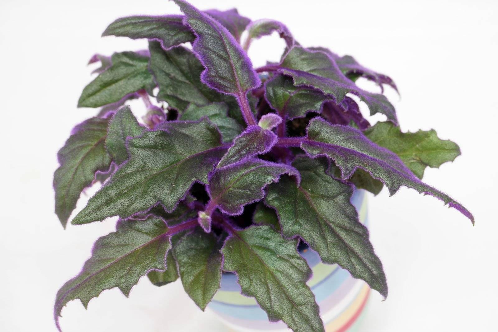 Гинура (29 фото): уход за цветком в домашних условиях. описание гинуры оранжевой и плетеносной, перистонадрезной и других видов растения