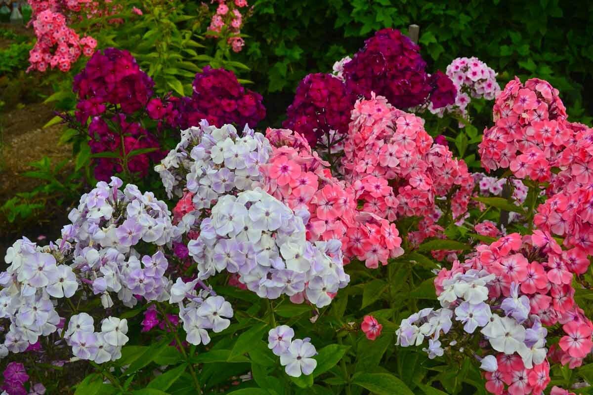 В какое время и как лучше можно посадить флоксы в открытом грунте