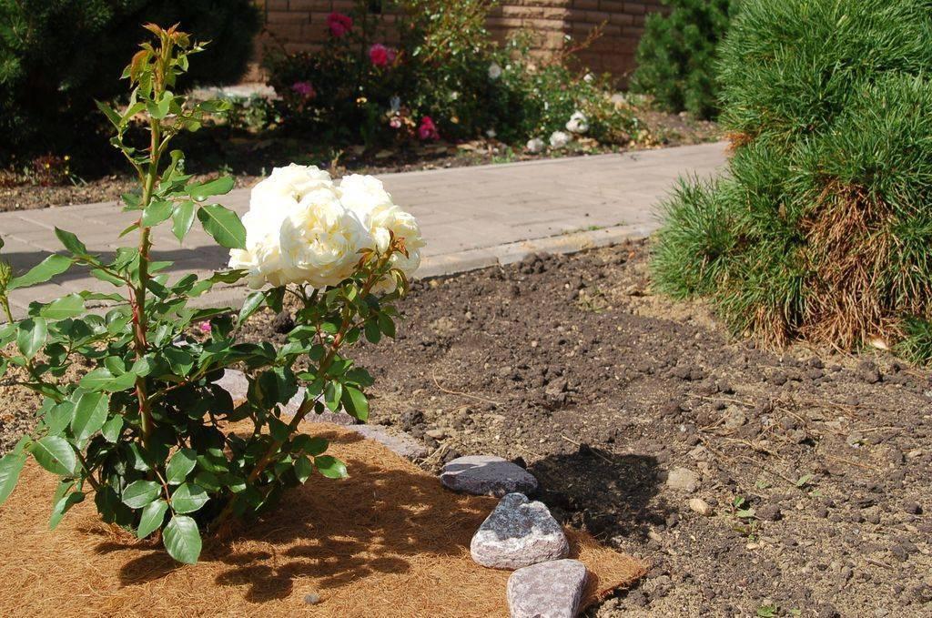 Домашние розы – особенности ухода и подкормки