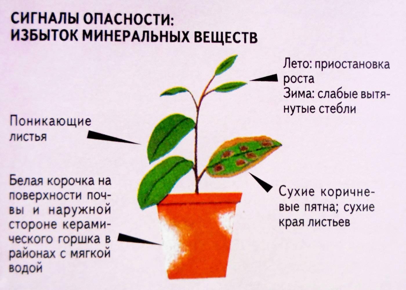 Фуксия: описание и фото. выращивание и размножение фуксии в домашних условиях.