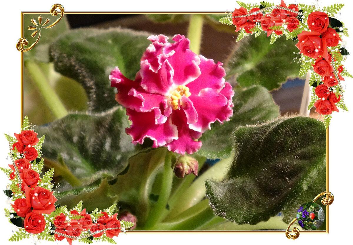 Фиалка ледяная роза — описание и характеристики сорта