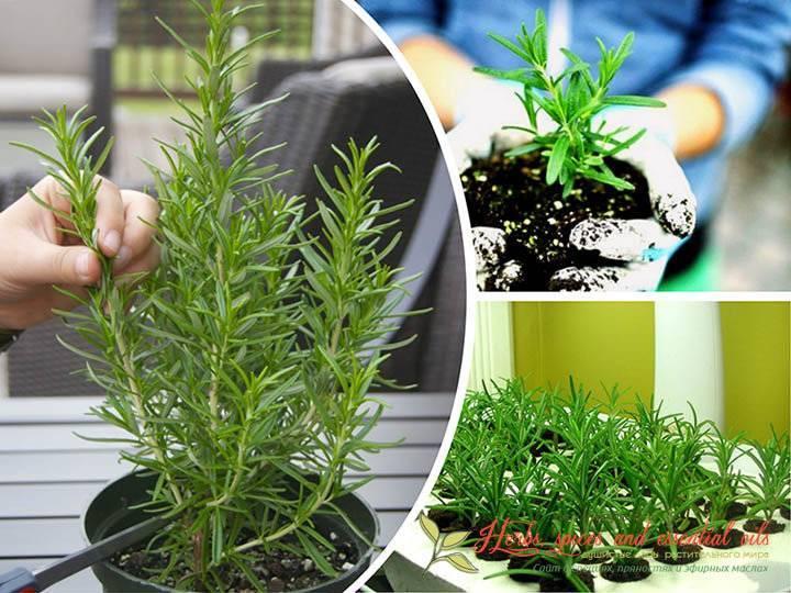 Как вырастить розмарин в домашних условиях | spicesguide.ru
