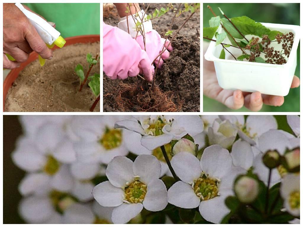 Как посадить и вырастить растение спирея аргута (таволга) у дома - общая информация - 2020
