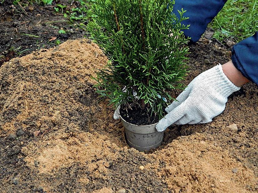 Как посадить тую и ухаживать за ней? 35 фото посадка и уход в открытом грунте. как правильно сажать тую весной? когда лучше пересадить дерево в другое место? можно ли высаживать его осенью?