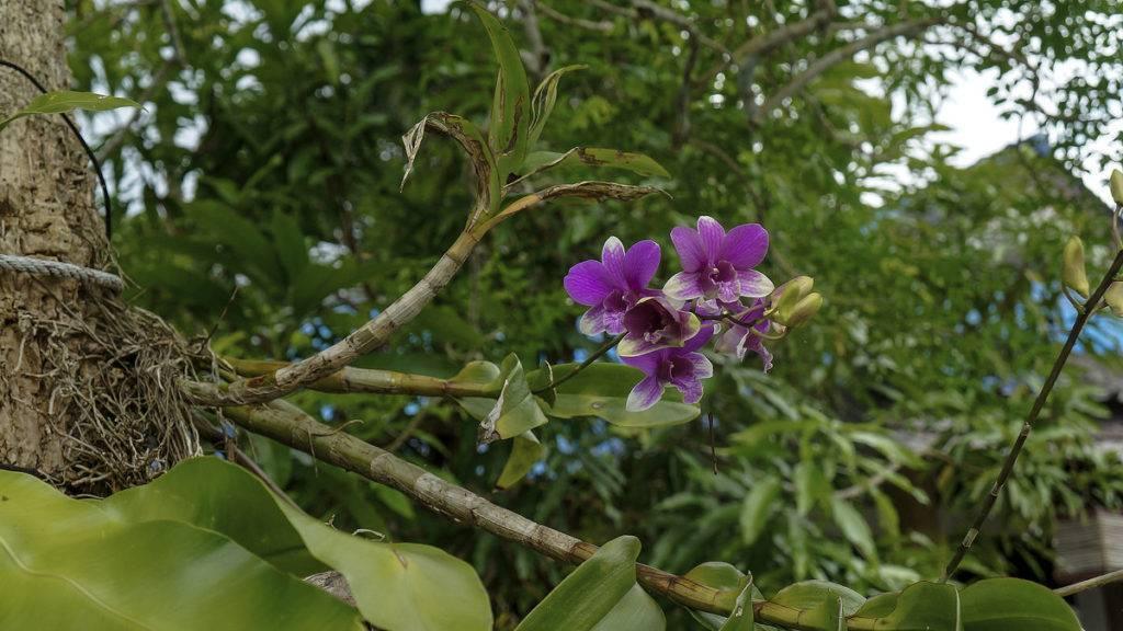 Красавица орхидея в природе — жизнь фаленопсиса в диких условиях и отличия от домашнего цветка