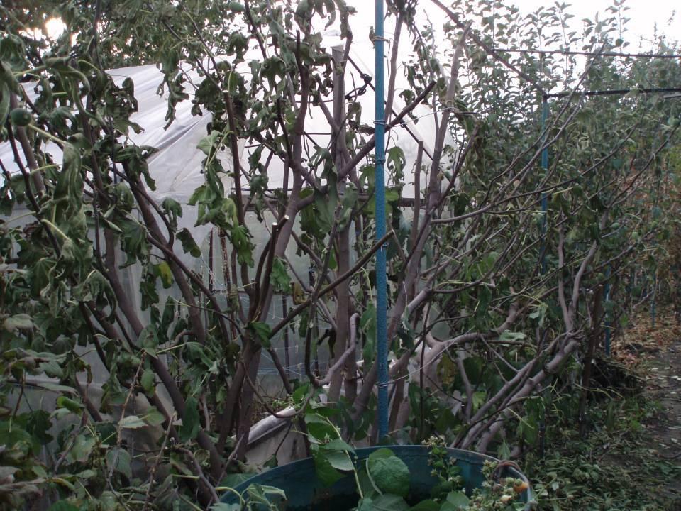 Посадка инжира весной и осенью: сроки и правила высадки саженцев в открытый грунт