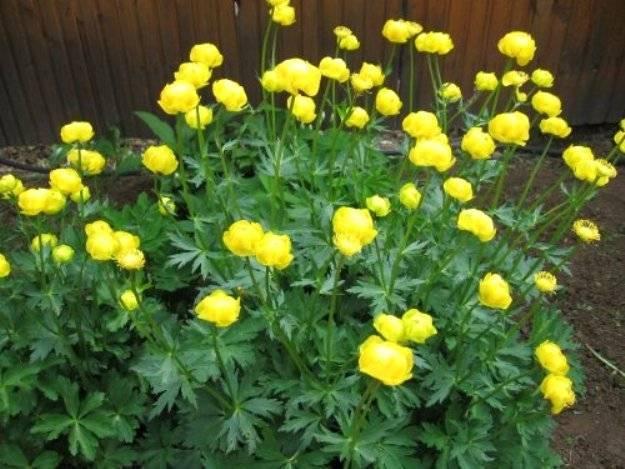 Купальница: характеристика растения, условия выращивания