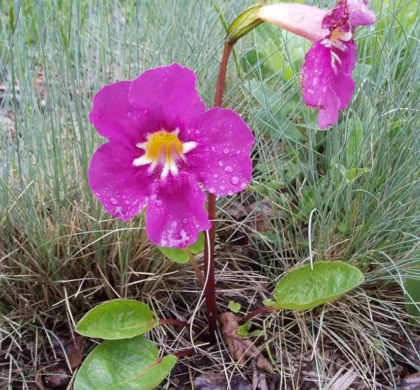 Цветок инкарвиллея делавея: посадка и уход