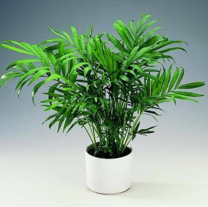 Хамедорея – бамбуковая пальма