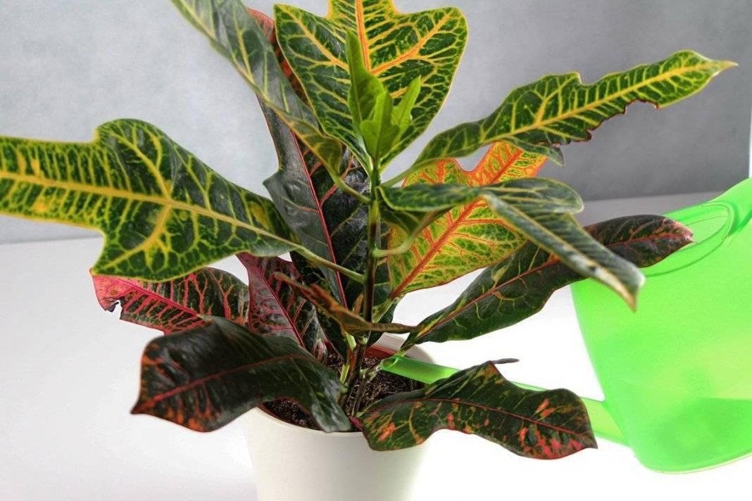 Кодиеум (кротон) — комнатное растение с зелеными листьями и желтыми пятнами