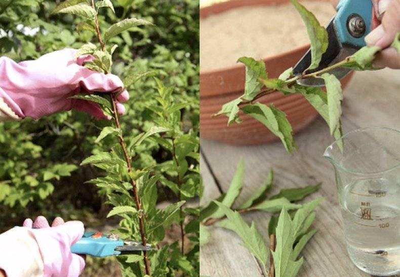 Комнатный цветок жасмин: фото, посадка и уход в домашних условиях и размножение растения