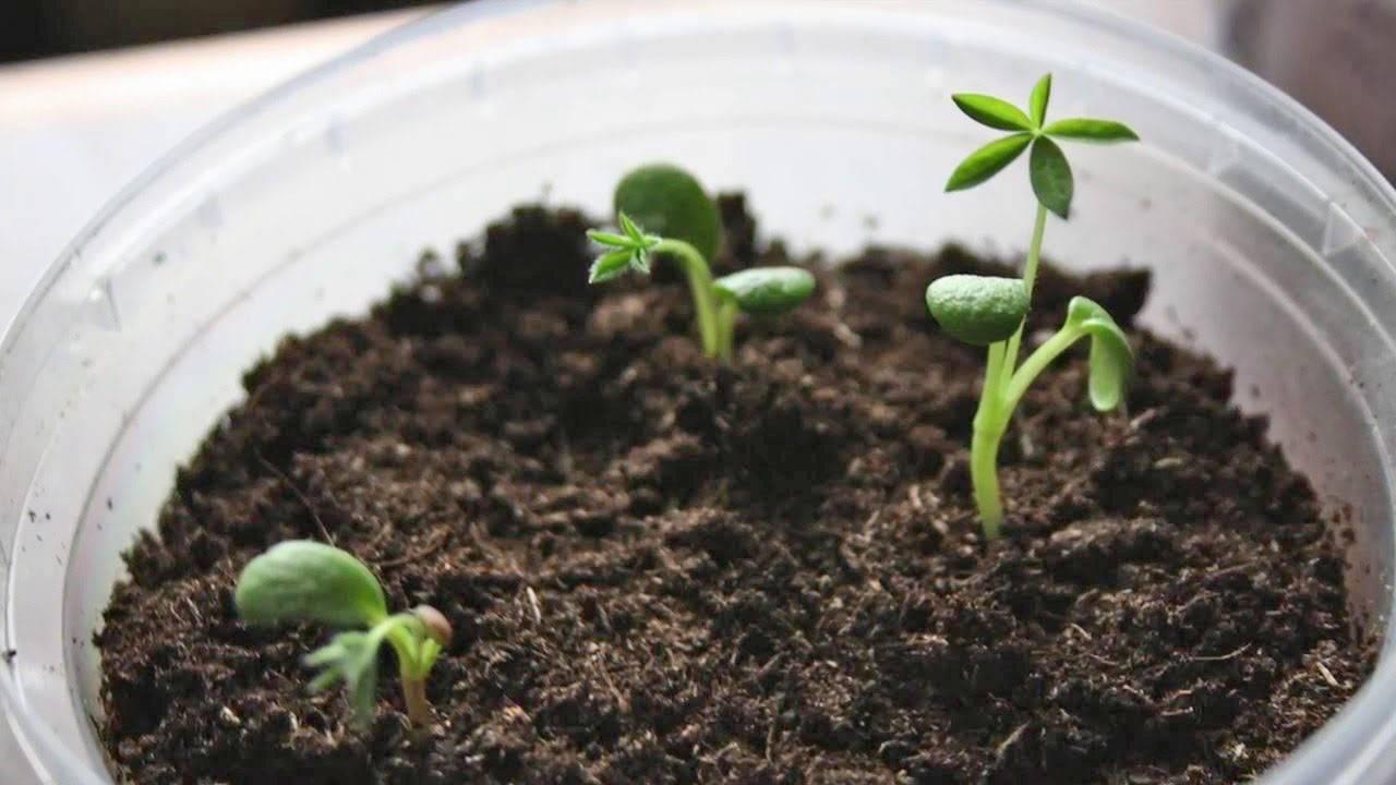 Выращивание люпинов из семян (22 фото): когда собирать семена и сажать? как сеять на рассаду в домашних условиях?