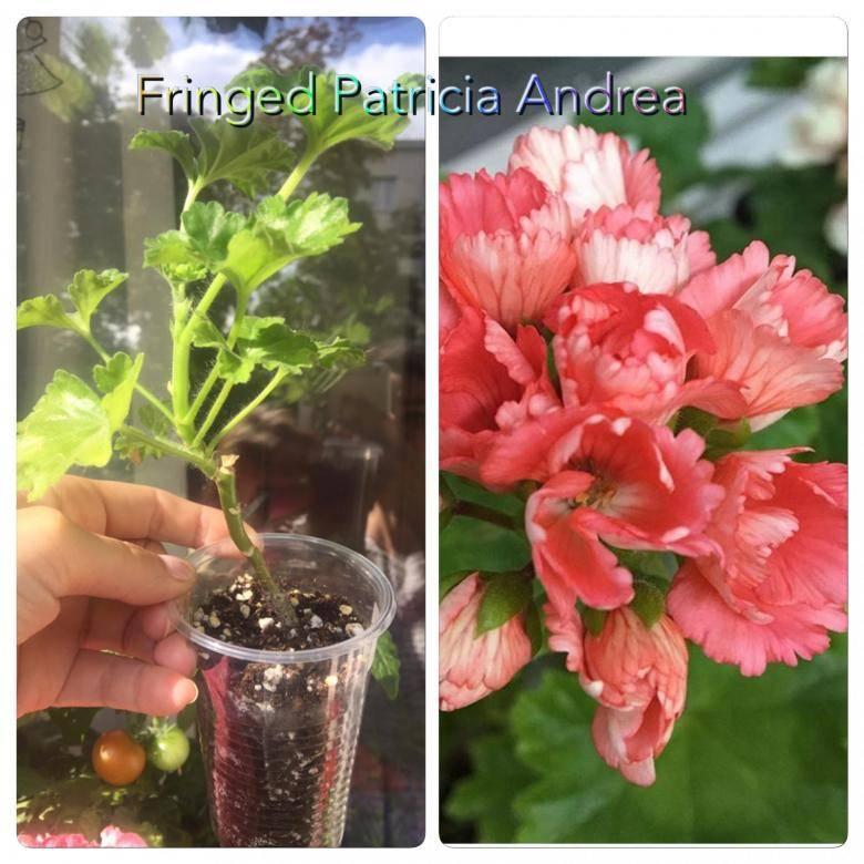 Герань тюльпановидная: описание цветка, сорта и их фото, особенности ухода в домашних условиях, размножение семенами и черенками, основные болезни и вредители