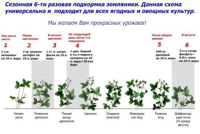 Чем подкормить смородину во время и после цветения