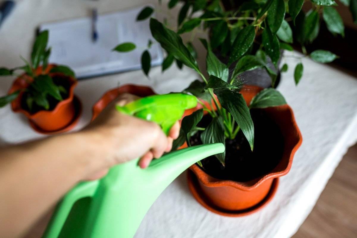 Уход в домашних условиях за растением бильбергия, почему не цветет?