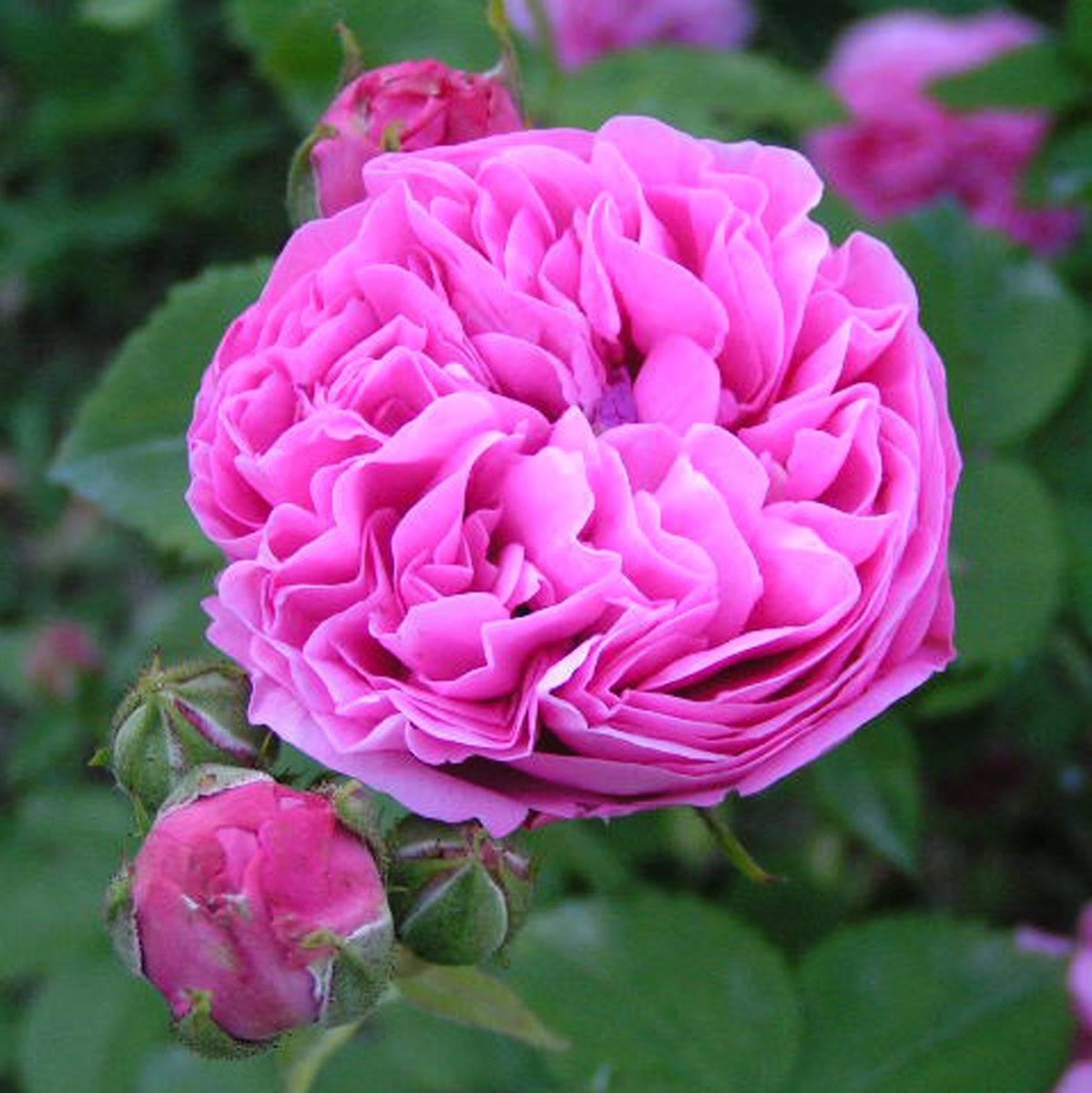 Rosa 'louise odier' — википедия переиздание // wiki 2