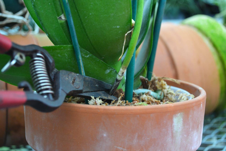 Узнайте, надо ли обрезать отцветшие цветоносы у орхидеи