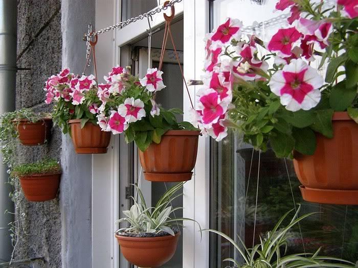Как вырастить кустовые и ампельные петунии на балконе