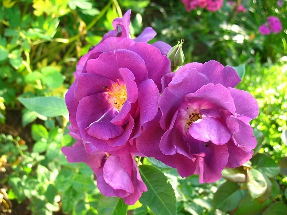 Роза блю мун (blue moon) — описание цветка оригинальной раскраски