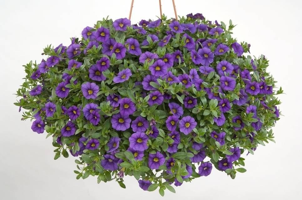 Цветы калибрахоа: виды, выращивание и уход