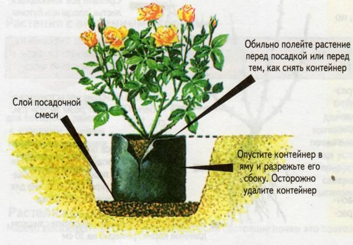 Когда лучше сажать розы - весной или осенью? правила посадки роз в открытый грунт