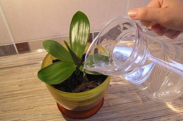 Чесночная вода для орхидей: как правильно приготовить и применять