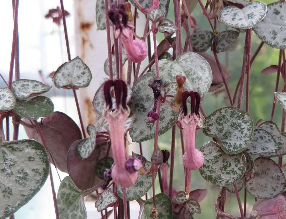 Церопегия: выращивание и уход