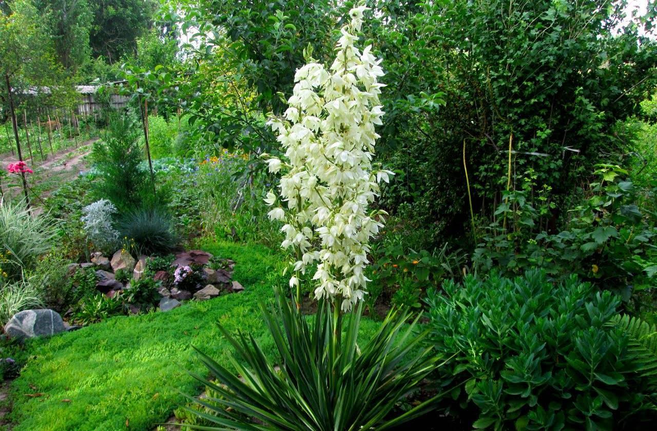 Юкка садовая (43 фото): посадка. как ухаживать за филаментозой? размножение и пересадка уличного растения, сорта и болезни