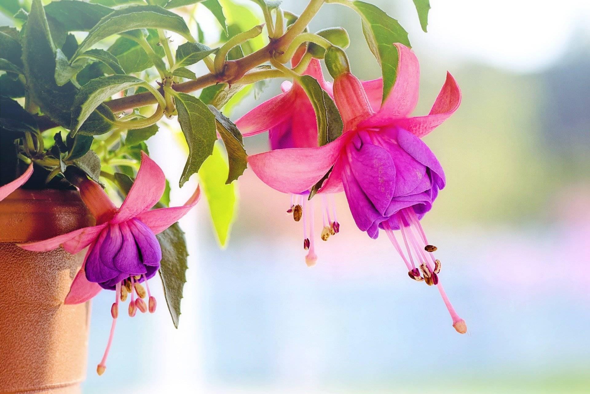 Что делать, если не цветет фуксия в домашних условиях