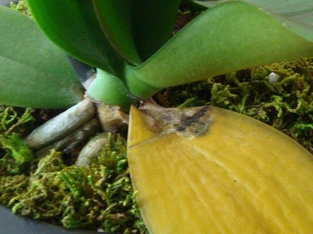 Болезни орхидеи: фото, причины и правила лечения
