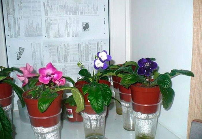 Как ухаживать за стрептокарпусом в домашних условиях: размножение из семян