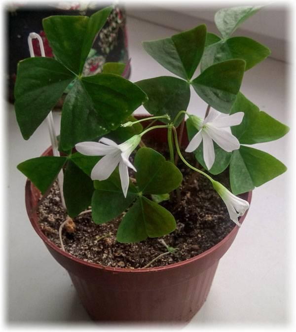 Цветок кислица: обзор видов и выращивание в комнатных условиях