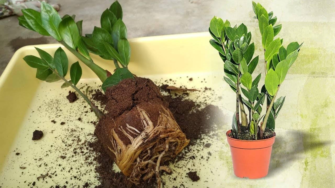 Как пересадить долларовое дерево: выбор грунта и горшка