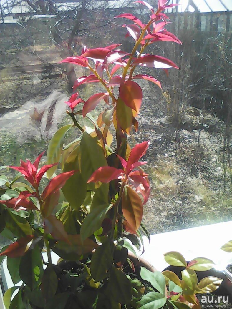 Переския шиповатая: примеры ухода за растением в домашних условиях