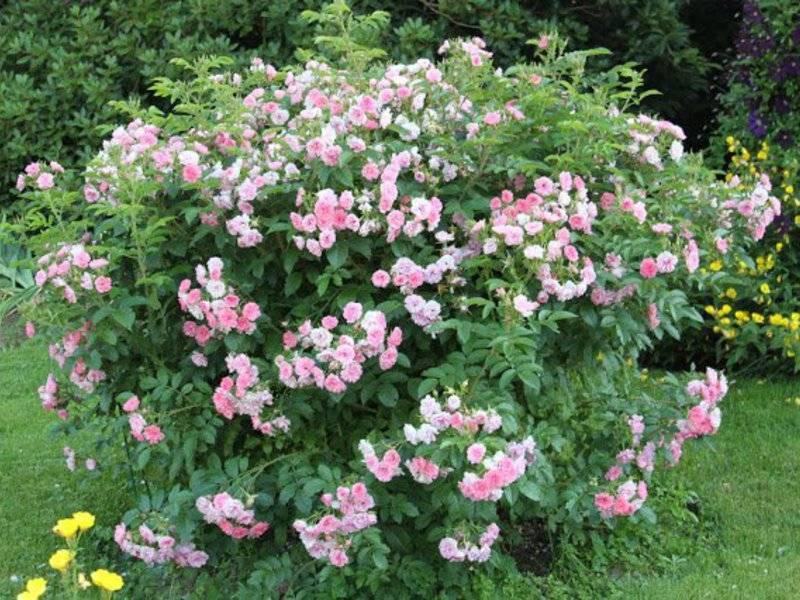 Канадские розы: сорта, фото, описание, посадка и уход