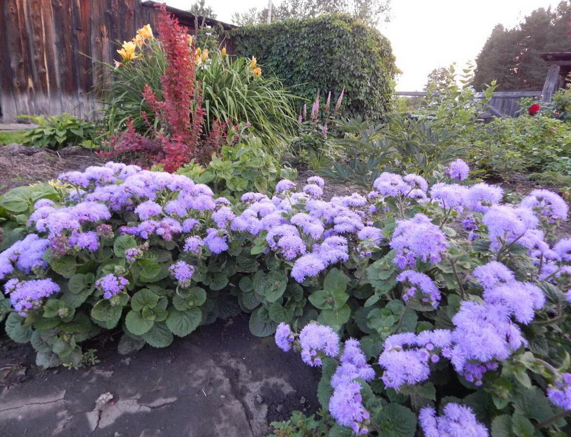 Агератум хоустона — наполним сад небесной синевой