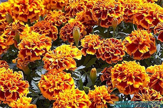 Советы от садоводов: почему сохнут бархатцы и что с этим делать?