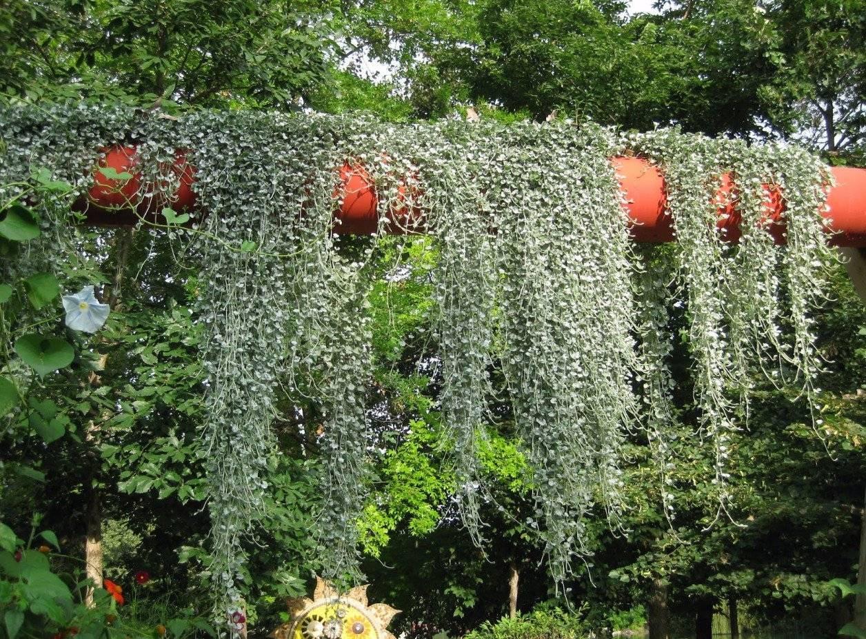 Цветок серебристый водопад дихондра: выращивание в домашних условиях