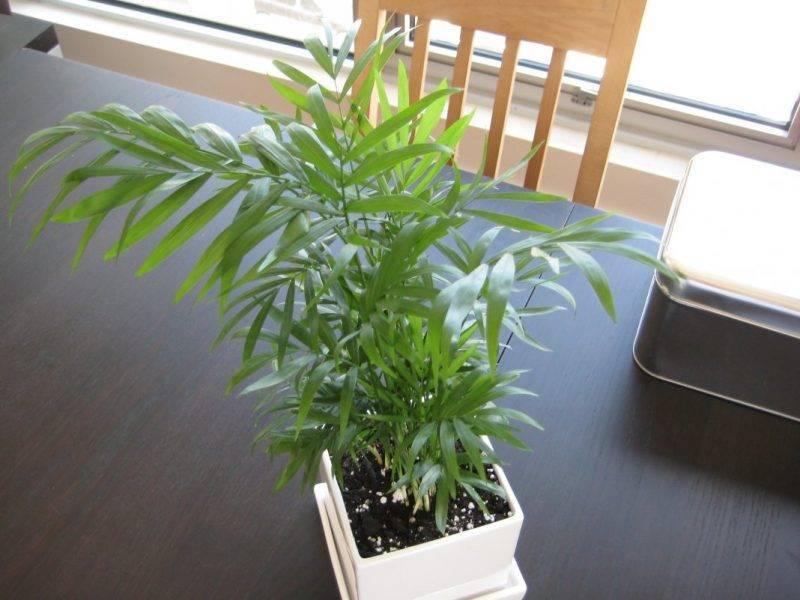 Уход в домашних условиях за хамедореей - посадка и уход за хамедореей: выращивание, полив и болезни