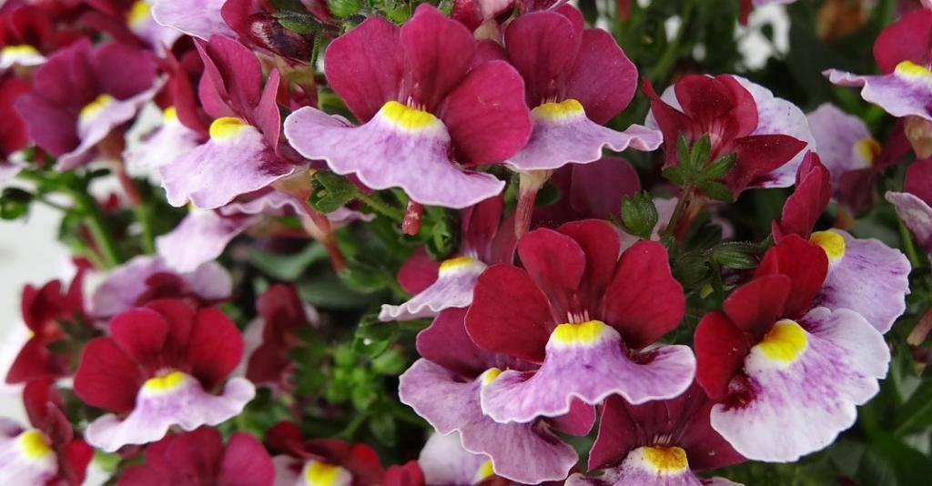 Великолепная немезия: виды и фото цветов, размножение, посадка и уход