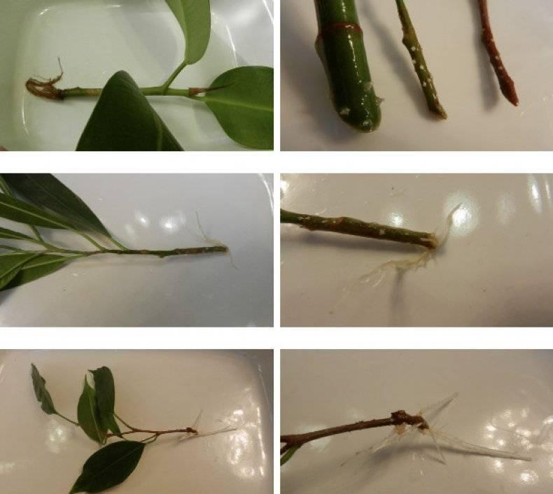 Как вырастить фикус в домашних условиях: из листочка, веточки, черенка и отростка
